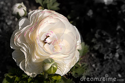 White poppy with pink