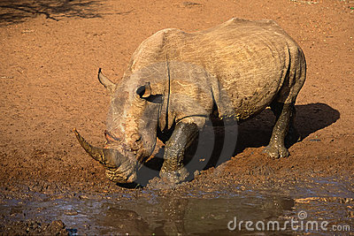 White południowej afryce nosorożca