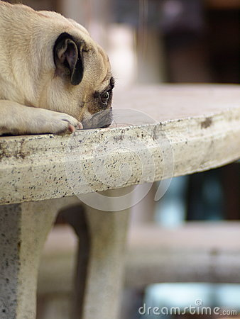 White pug dog laying on a table