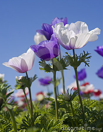 white and purple flower field stock image  image, Beautiful flower