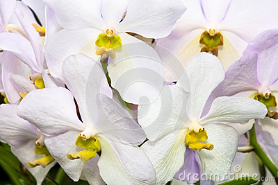 White Purple Orchid