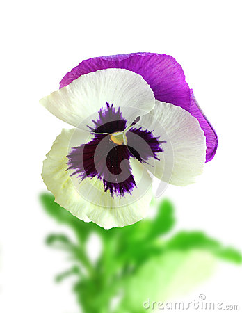 White-purple pansy flower