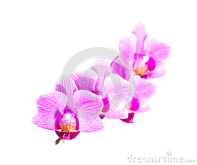 White purple phalaenopsis orchid flowers, close up