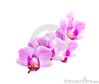 White purple phalaenopsis orchid flowers, close up