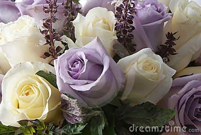 White and purple rosa