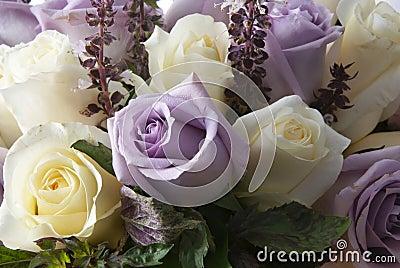 White and purple rosa