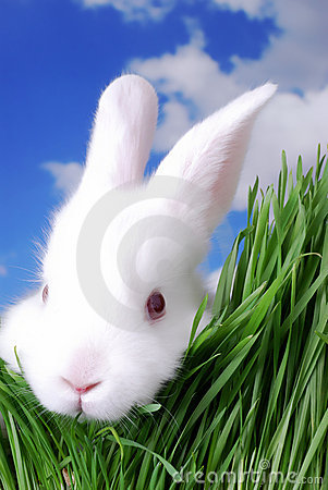 Free White Rabbit Royalty Free Stock Images - 2052839
