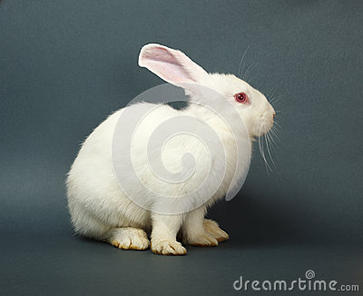 White rabbit on gray background