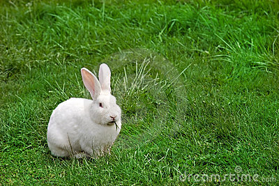 White Rabbit munching grass