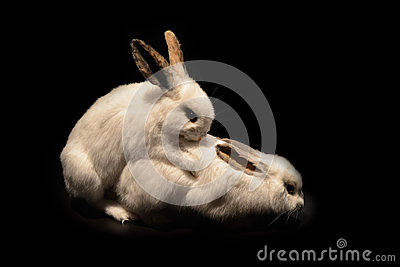 White rabbit reproduction
