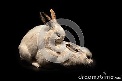 White rabbit reproduction