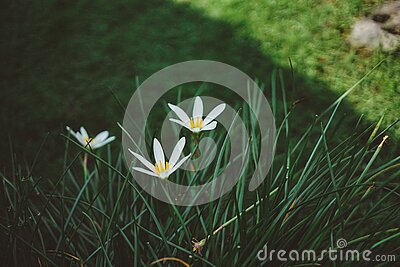 White Rain Lilies At Daytime Close Up Photography Free Public Domain Cc0 Image