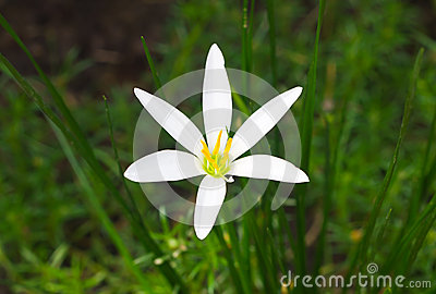 White Rain Lily flower
