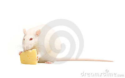 White rat with cheese