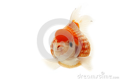 White and Red Goldfish