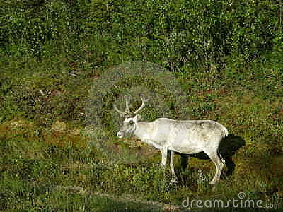 White reindeer at a forest border