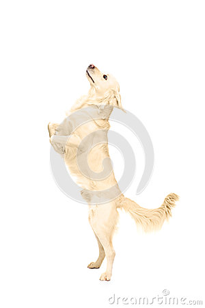 White retriever dog standing upright on his legs
