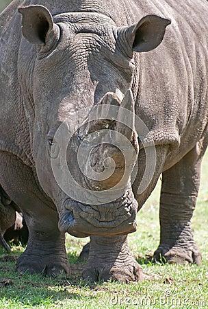 Free White Rhino Stock Photo - 20199140