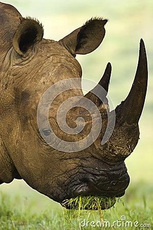 Free White Rhino Stock Image - 3638921