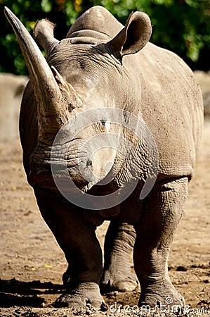 Free White Rhino Royalty Free Stock Photography - 45394217
