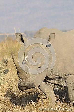 Free White Rhino Royalty Free Stock Photography - 8981567