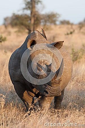 Free White Rhino Bull Stock Photo - 20908610