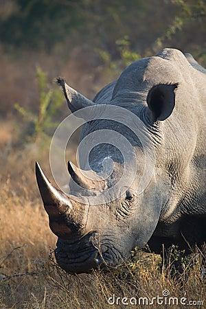Free White Rhino Bull Royalty Free Stock Images - 32780919