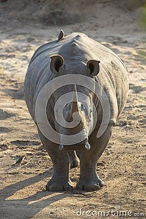 White Rhino (Ceratotherium simum) in South Africa