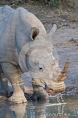 White rhino drinking in Kruger National Park