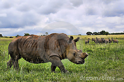 White Rhino in HDR