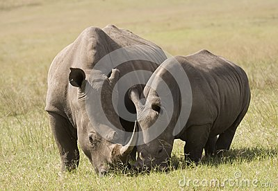 White Rhino Mother & Baby, South Africa