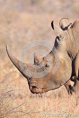 Free White Rhino Profile Royalty Free Stock Photo - 11286695