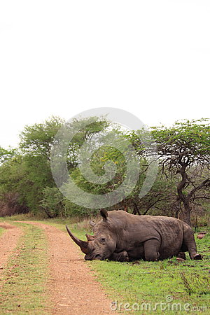 White rhino resting in the wilderness