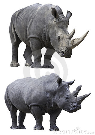 Free White Rhino Rhinoceros Isolated Animal Stock Photography - 15003312