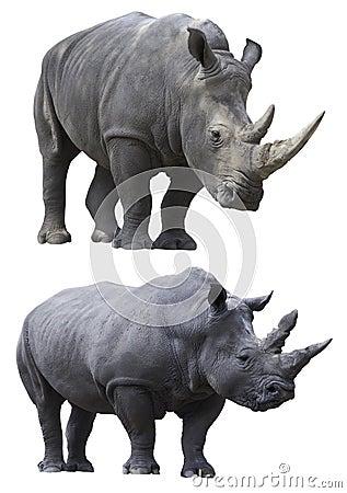 White rhino rhinoceros isolated animal