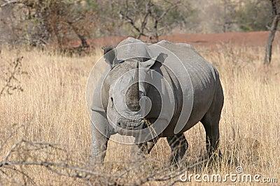 White Rhino Run baby Run