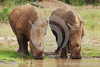 White Rhino s