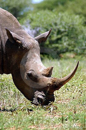 White Rhino (South Africa)