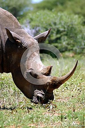 White Rhino (South Africa)
