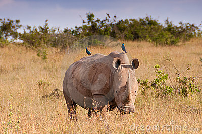 White Rhino and Starlings