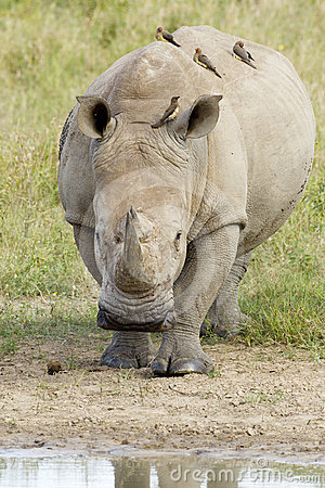 White Rhino walking, South Africa