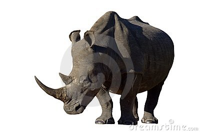 White Rhino on white background