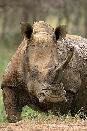 Free White Rhinoceros Royalty Free Stock Image - 607286