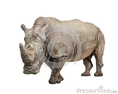 White Rhinoceros - Ceratotherium simum ( +/- 10 ye