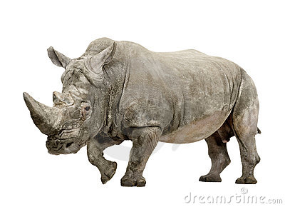 White Rhinoceros - Ceratotherium simum (+/- 10 years)