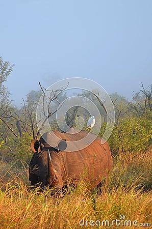 White rhinoceros (Ceratotherium simum).