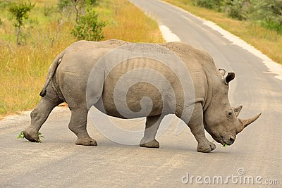 White Rhinoceros crossing a road