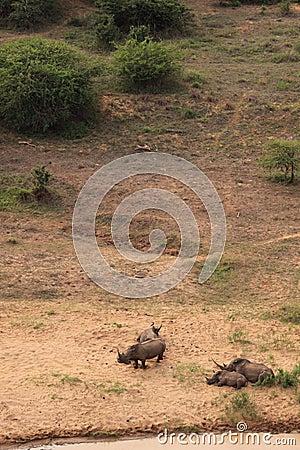 White rhinoceros family sleeping