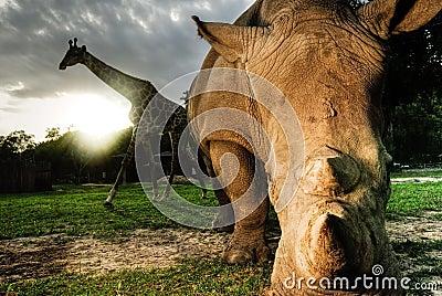 White rhinoceros and Giraffe