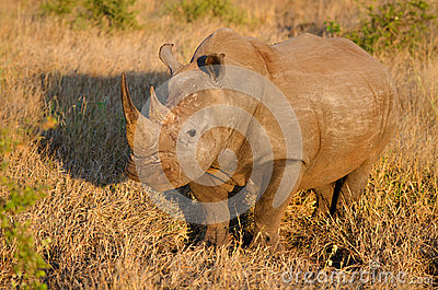 White Rhinoceros in Golden Light, Kruger National